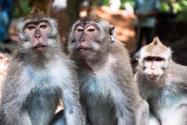 Indonesien-Bali-Affenfamilie in Ubud