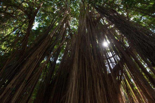 Indonesien-Bali-Banyan tree