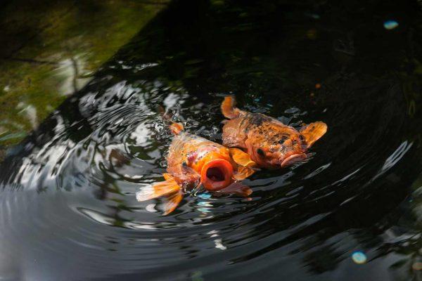 Indonesien-Bali-Goldfische