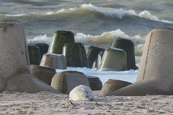 Deutschland-Sylt-Hörnum-Robbenbaby ruht sich bei den Tetrapoden aus