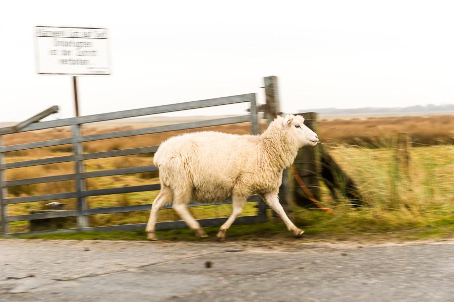 Deutschland-Sylt-List-Schaf im Lauf