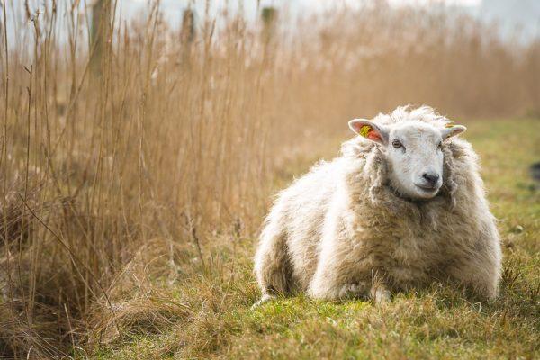 Deutschland-Sylt-List-Ellenbogen-Schaf