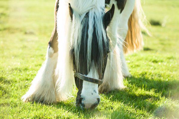 Deutschland-Sylt-Keitum-Pferd beim Grasen
