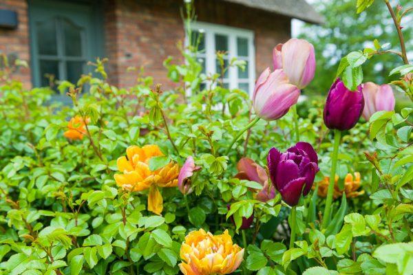 Deutschland-Sylt-Keitum-Tulpen zu Ostern