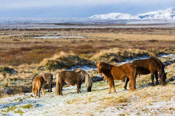 Island-Golden Circle-Isländer Pferde
