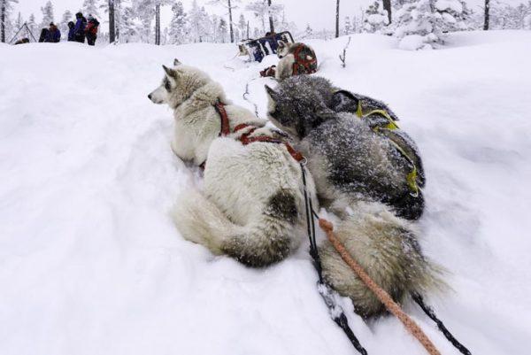 Schweden-Kiruna-Huskys im Schnee