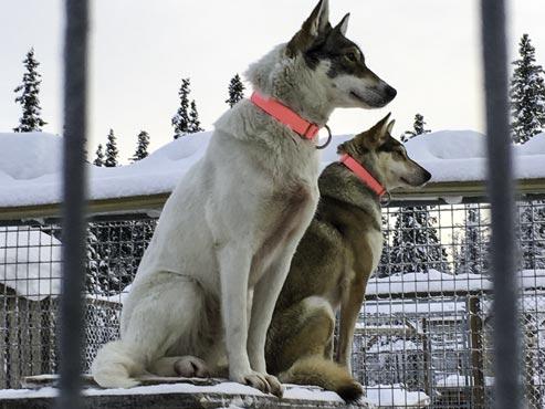 Schweden-Kiruna-Huskys im Base Camp