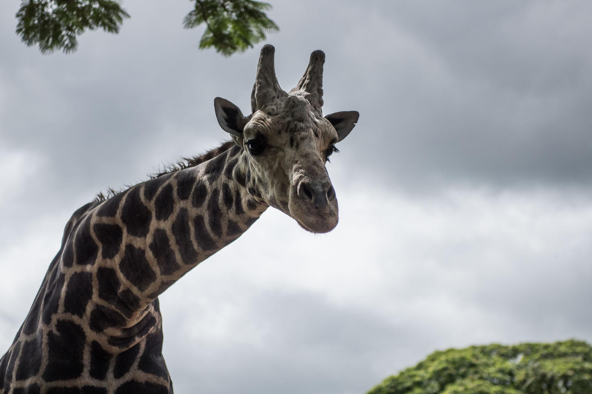 Giraffe im Zoo von Mysore