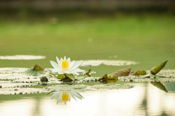 Indonesien-Bali-Lotusteich
