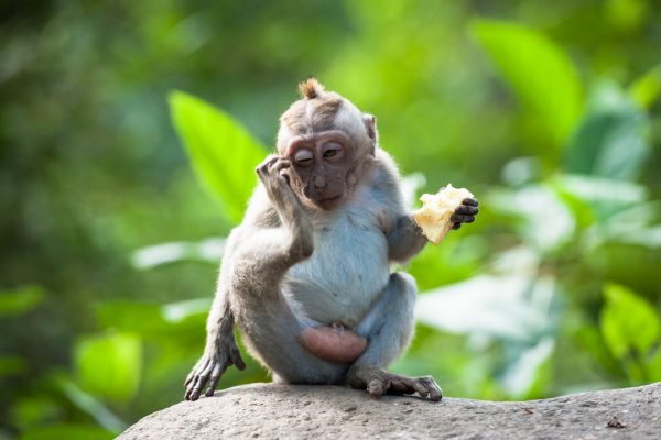 Indonesien-Bali-Affenbaby