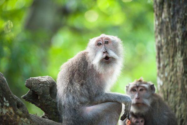 Indonesien-Bali-Affenwald von Ubud