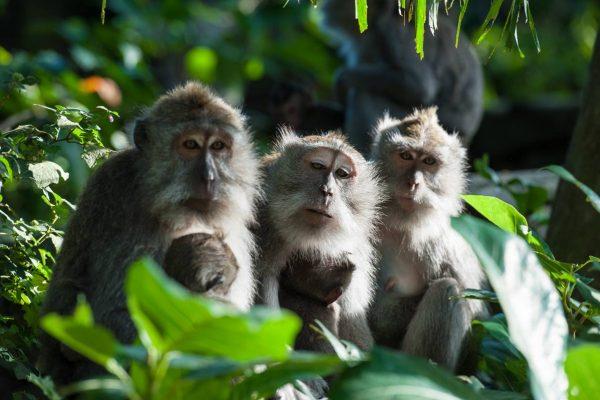 Indonesien-Bali-Affenwald in Ubud