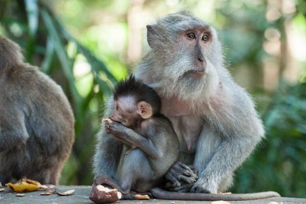 Indonesien-Bali-Affenliebe in Ubud