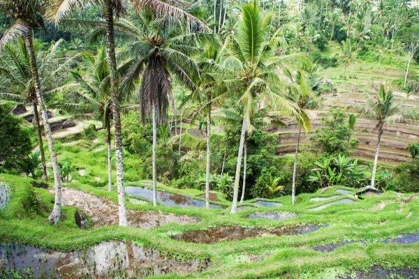 Indonesien-Bali-Reisterrasse