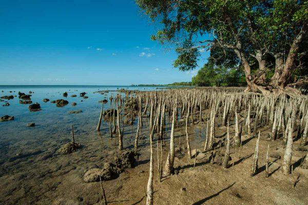 Indonesien-Bali-Mangroven bei Ebbe