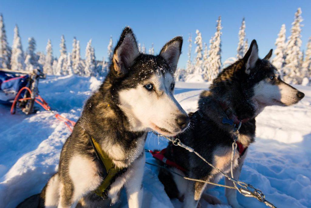 Schweden-Kiruna-Huskys